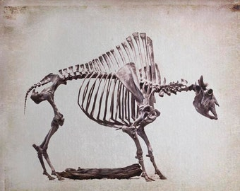 Oddity Photography, Bison Skeleton, Rustic Decor, Gray, Beige, Brown, Skeleton, Southwestern, Nature Photography