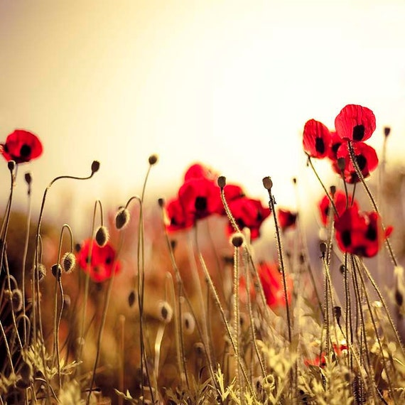 Red Poppy Wall Decor : Red poppy art flower photography gold bedroom wall by