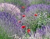 Lavender Field - Fine Art Photography Print