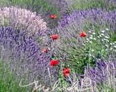 Lavender Field - Fine Art Photography Print 11x14