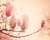 Spring Magnolia Blossom Photograph - pink blush spring magnolia blossoms pale