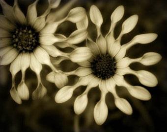 Black and White Flower Print, sepia flower photograph, dramatic flower photo, spoon flower, country home decor, loft decor, 8x10