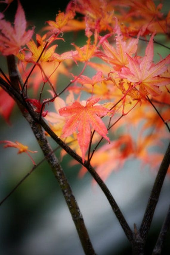 Japanese Maple Photograph - orange yellow autumn fall leaves 8x12
