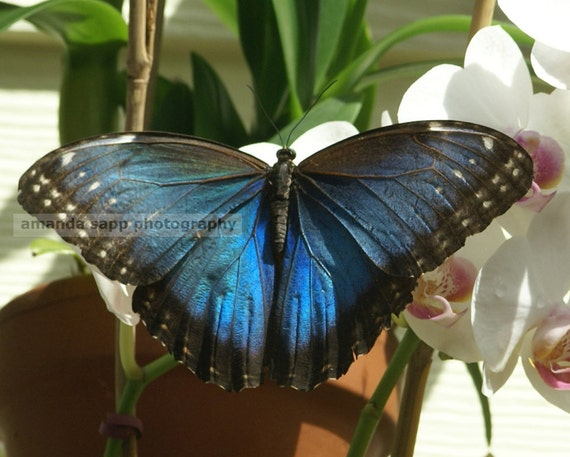 blue Key West butterfly  photograph