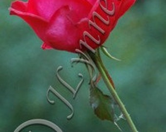 Single Red Rose Photo Magnet