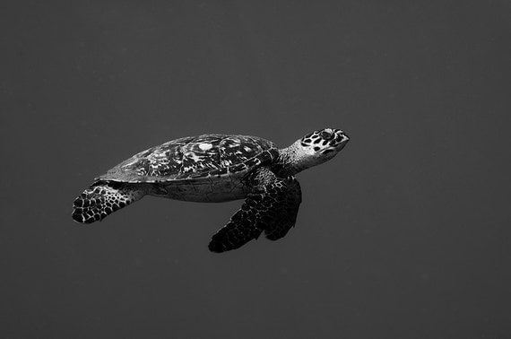 Sea Turtle Art Underwater Photography print of Sea Turtle in open water Black and White