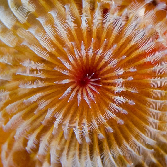 Abstract Art - Bright Colorful Spiral Christmas Tree Worm,  Nautical Decor Underwater Photography
