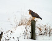 Red-Tailed Hawk Photograph Winter Snow Raptor13x20 Photograph