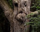Tree Face Photograph Ancient Tree Summer Creatures of the Woods 19x25 Photograph
