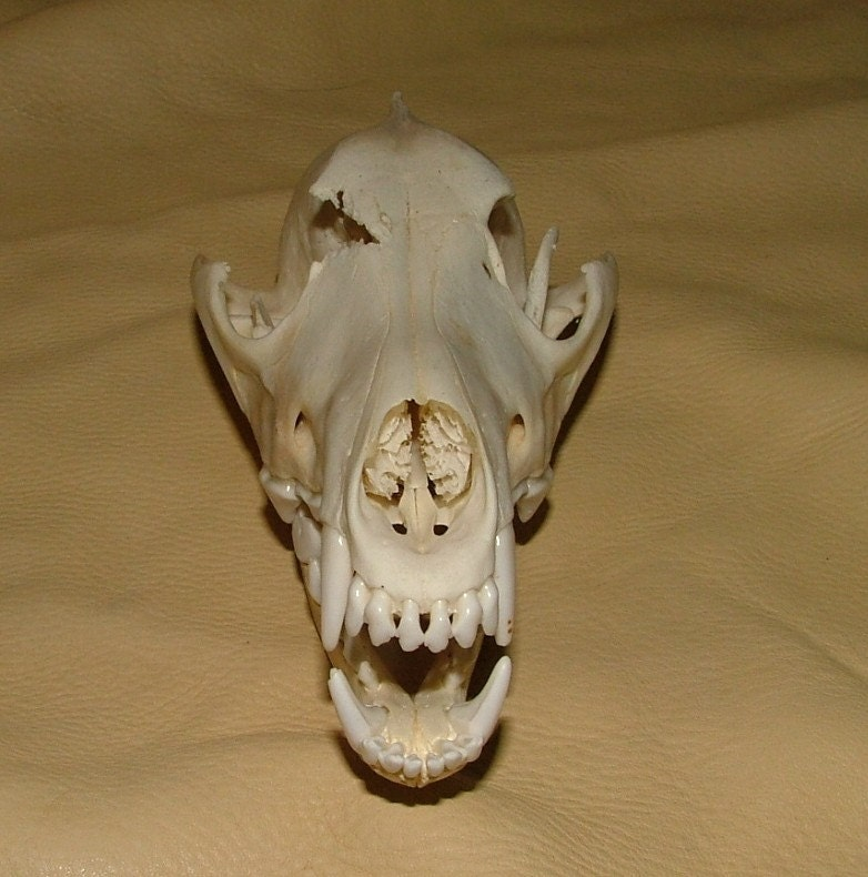 Large Coyote Skull By Skyblaze On Etsy