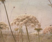 Queen Anne's Lace Flower Photograph - White Cream Beige Wildflower Israel Meadow Fine Art Photograph