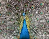Peacock Art - Animal Photograph - Bird Art - 5x7 Fine Art Photograph
