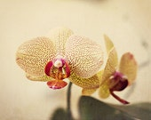 Orchid - 8x12 fine art photo - Flower Photograph - Made in Israel - Nature Photography