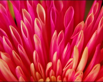 Pink Petals - 5x7 Macro Photograph of Fuschia Chrysanthemum - Flower Photography from Israel