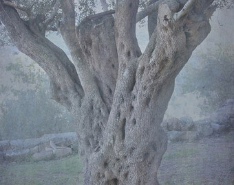 "Hosea 14-6 - Ancient Olive Tree - Image and Verse 8x10"" custom Photoverse print"