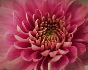 Pink Chrysanthemum Photograph - Flower Photography - The Color of Hope