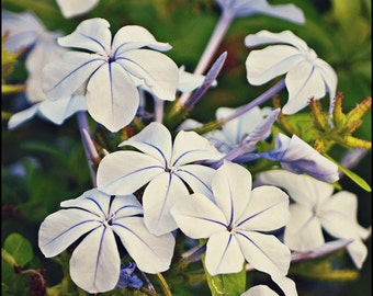 Blue Phlox Flower Photography - Nature Photograph - Israel Photography - Fine Art - Blue Lilac Purple