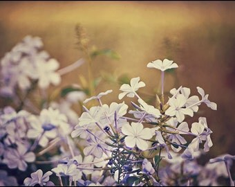 Romantic Flower Photography - Israel Photography - Blue Purple Lilac Flowers - Blue Phlox - Nature Photography