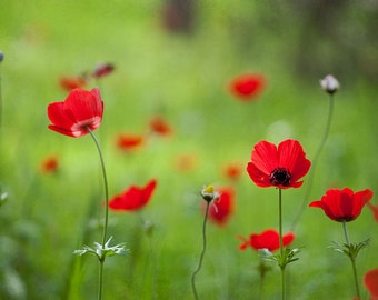 Red Anemones - Israel Wildflowers - Red Flower Photography - 8x12 Fine Art Photograph