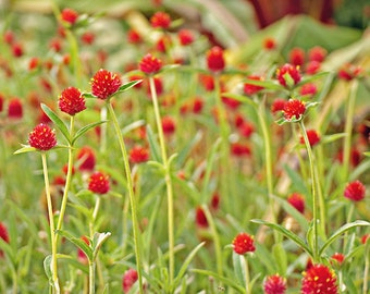 Strawberry Fields - Red Flowers in a Green Meadow - 8x12 Fine Art Photograph