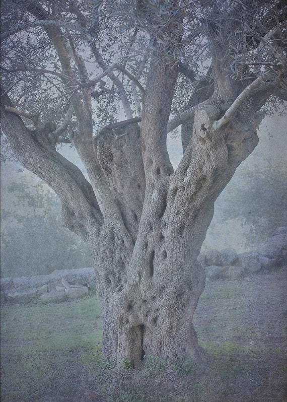 Israel Travel Photography - Ancient Olive Tree - Holy Land Photograph - 5x7 Fine Art Photograph