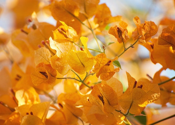 Yellow Flower Photography - Yellow Bougainvillea - Fall Colors - Sunshine Yellow - 5x7 Fine Art Photograph