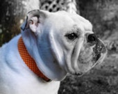 Orange Cream Dreamsicle - Fabric Dog Collar
