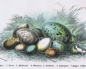 1896 Antique BiRD EGGS Chromolithograph PL XXIX, Aqua, Teal, Turqoise, Blue, Green, Gorgeous, Perfect for Framing, Nightingale, Magpie