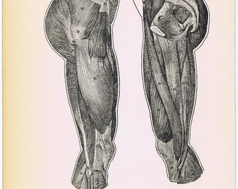1919 HUMAN ANATOMY Print Pl VIII  'Thigh, Outside and Inside Views', Ideal for Framing or Altered Art Project, Anatomy, Butt Cheeks