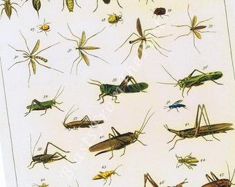 Albertus Seba INSECTS Print, 'Tomus IV, Tabula 96', Perfect for Framing, Colorful, Cricket, Bugs, Grasshopper, Walking Stick, Kids Room