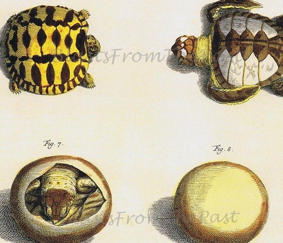Albertus Seba TURTLE Print, 'Tomus I, Tabula 79', Star Tortoise, Naturalist, History, Perfect for Framing, Kids Room, Classroom, Adorable