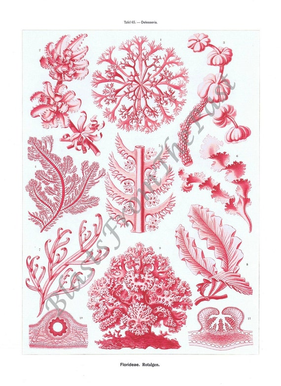 ERNST HAECKEL Print -- PL 65-66 'Delesseria' and 'Epeira', Sea Life, Ocean, Perfect for Framing, Insects, Bees, Bugs