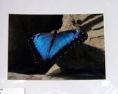 Beautiful Blue and Black Butterfly - Matted Photograph