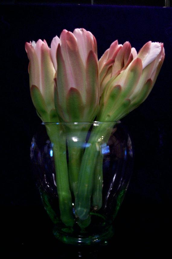 Cactus Plant, Night Blooming Cereus