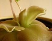Carnivorous 'Rosy' Butterwort Plant