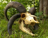 Reserved for nethersphere Do Not Purchase Extremely Rare Massive Four Horned Rams Trophy Skull