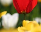 Mated Tulip Photograph 5x7