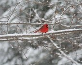 Cardinal in the Winter 4x6 mated photograph