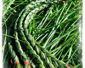 Sweetgrass Braid  Fresh  Green Scent Fragrant,  October 6th 2015 Harvest