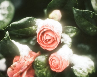 Camellia Photograph pink flowers snow early winter green white peach still life for her - Without a sound - square fine art photograph