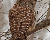 Barred Owl, daytime hunting , photographic greeting card