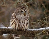 Barred Owl, intent gaze, greeting card