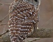 Custom Order for Jen D, Barred Owl, twilight portrait