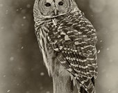 Barred Owl, hunting in the snow, black and white, sepia toned greeting card