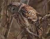 Barred Owl, the look of concentration while hunting, greeting card