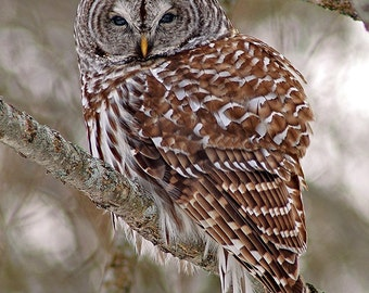 Barred owl, on a cold day, greeting card