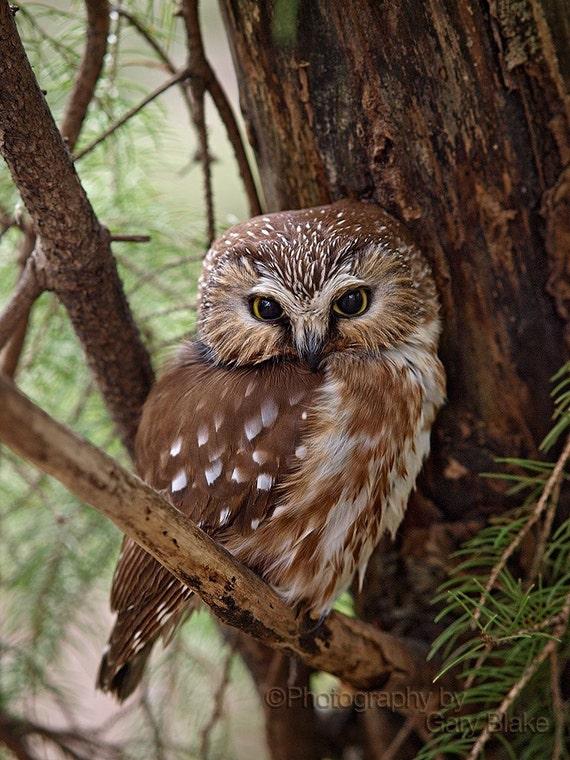 Northern Saw-whet owl, 8x10 unframed print