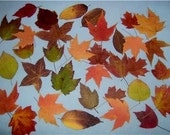 Pressed Fall Leaves-500 Real Dried-Pressed hand picked Leaves for Weddings,scrapbooking,candles and more