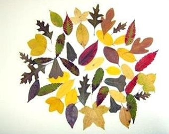 """100 Small real leaves pressed-Woodland Wedding-Dried Leaf - Botanical-Floral-100 Real Dried Leaves- Hand Picked and Pressed Leaves 1""""-2"""""""