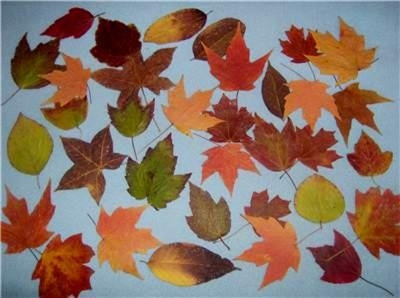 1000 Real Dried Pressed Fall Leaves-FREE SHIPPING-Pressed hand picked Leaves for Weddings,scrapbooking,candles and more